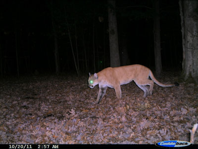 Trail cam photo of a cougar in Jackon County.