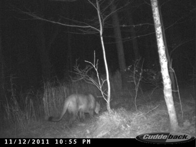 Trail cam photo of a cougar in Price County.