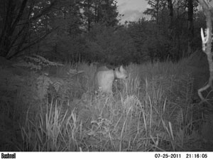 Trail cam photo of a cougar in northern WI.