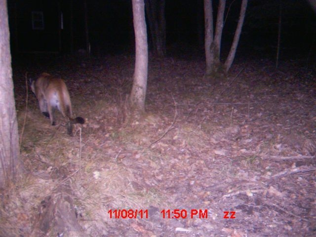 Trail cam photo of a cougar in Rusk County.