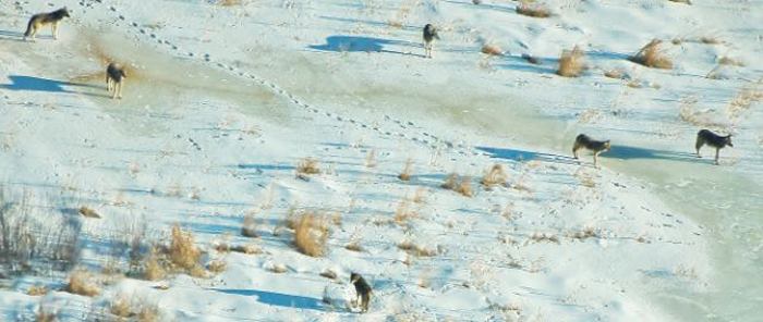 A pack of Wisconsin gray wolves as seen from the air. Photo courtesy of Paul Lueders.