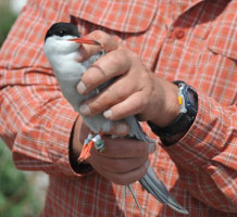 Common tern with a geolocator