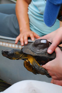 Wood turtle with a transmitter and GPS unit