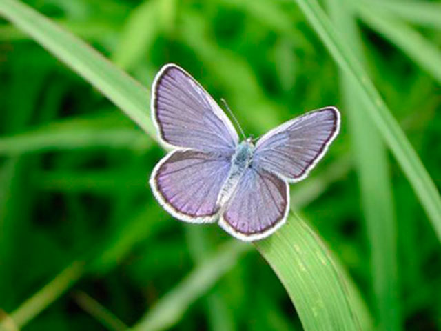 Male Karner blue butterfly. - Photo credit: DNR
