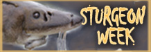 Sturgeon Week Features