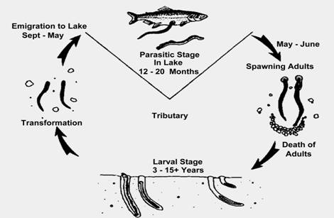 Fishing Wisconsin Sea Lamprey And Control Efforts In Wisconsin