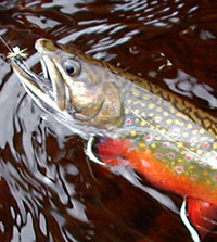 A beautiful brook trout