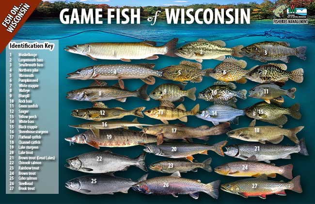 Game fish of wisconsin poster wisconsin dnr for Mississippi fish and game
