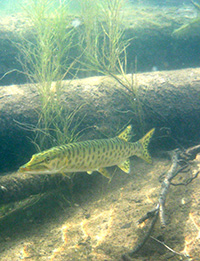 Musky around habitat