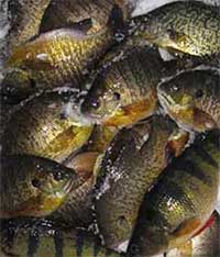 A pile of panfish