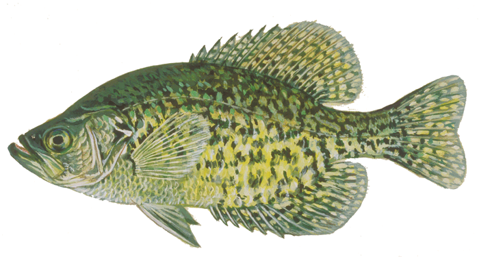 Fishes of wisconsin black crappie wisconsin dnr for Wisconsin out of state fishing license