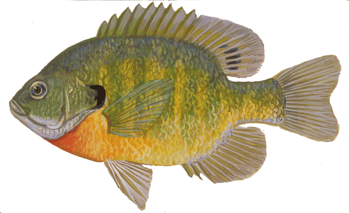 Fishes of wisconsin bluegill wisconsin dnr for Illinois fish species