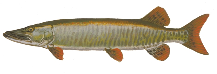 fishes of wisconsin muskellunge wisconsin dnr