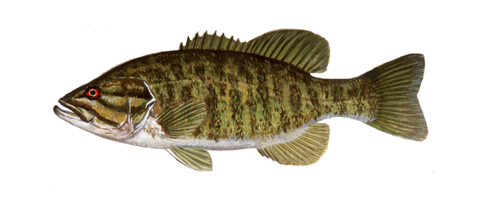 What does a crappie fish look like