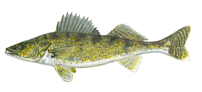 Fishes of wisconsin walleye wisconsin dnr for Wi fishing regs