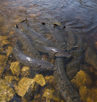 Sturgeon guard fishing wisconsin dnr for Garden pond guards