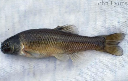 Fishing Wisconsin - Fathead minnow (male) - Wisconsin DNR