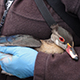 Wood duck banding