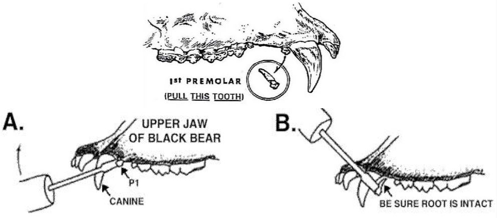 bear tooth removal