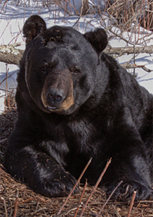 Wisconsin black bear image courtesy of the Wisconsin Department of Natural Resources