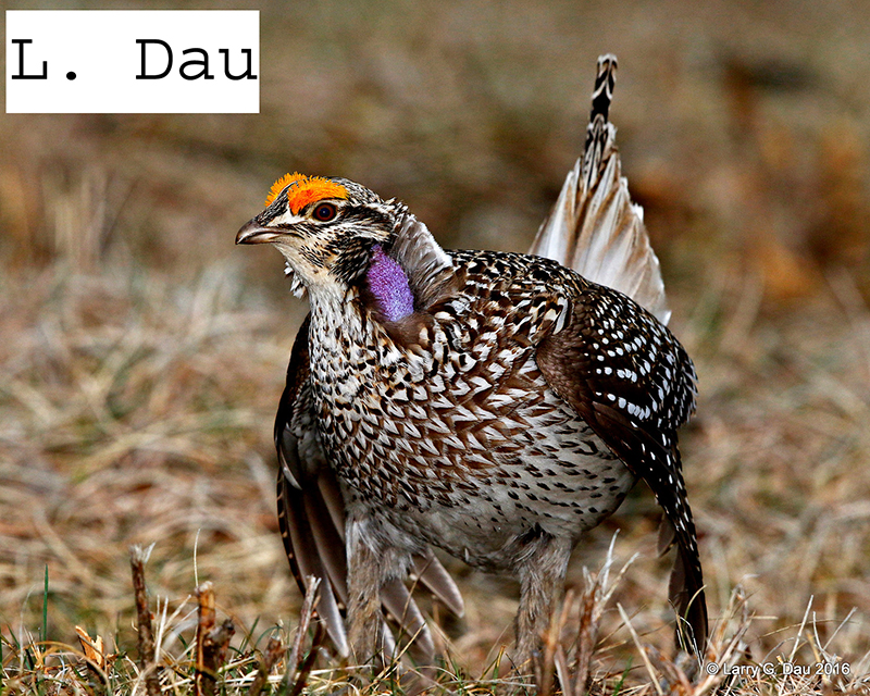 sharp tailed grouse hunting wisconsin dnr