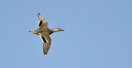 Captivating They Have Rapid Wing Beats And Are Highly Maneuverable, With A Distinct  Green Patch On