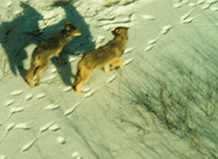 gray wolves from the air