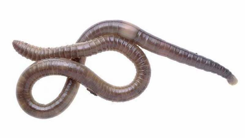 Adult jumping worm