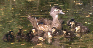 Wood Duck Brood