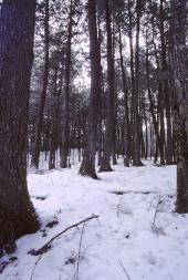 Plum Lake Hemlock Forest