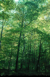 Marinette County Beech Forest