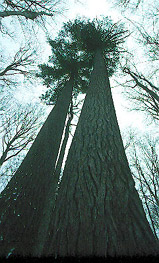 Giant White Pine Grove