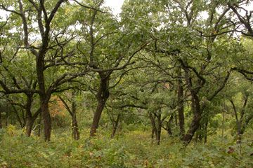 Kettle Moraine Oak Opening