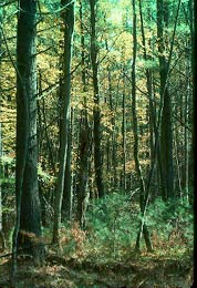 Jay Creek Pine Forest