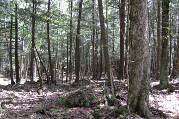 Bear Creek Hemlocks
