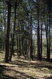 Perkinstown Hemlocks