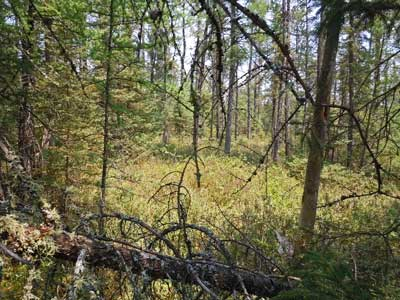 Spruce Grouse Swamp