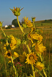 Compass plant at Audubon Goose Pond