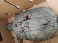 The wounds are visible on the snapping turtle. It appeared to have been beaten with a golf club.
