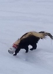 This skunk enjoyed the soup too much.