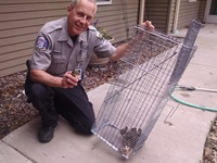 Warden Scott Thiede helped these ducklings get out of a fenced area to rejoin their mom.