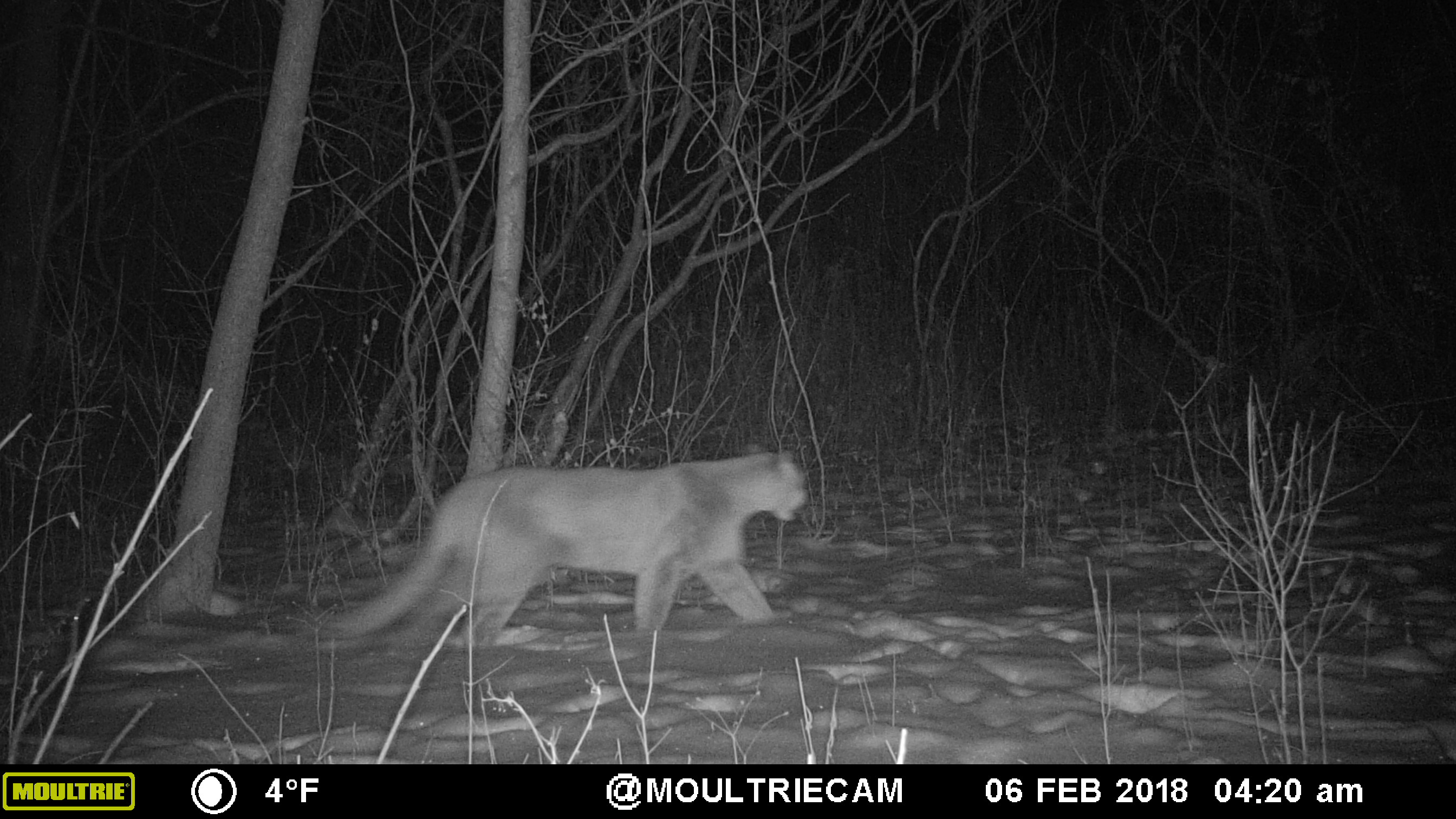Cougars In Wisconsin Wisconsin Dnr
