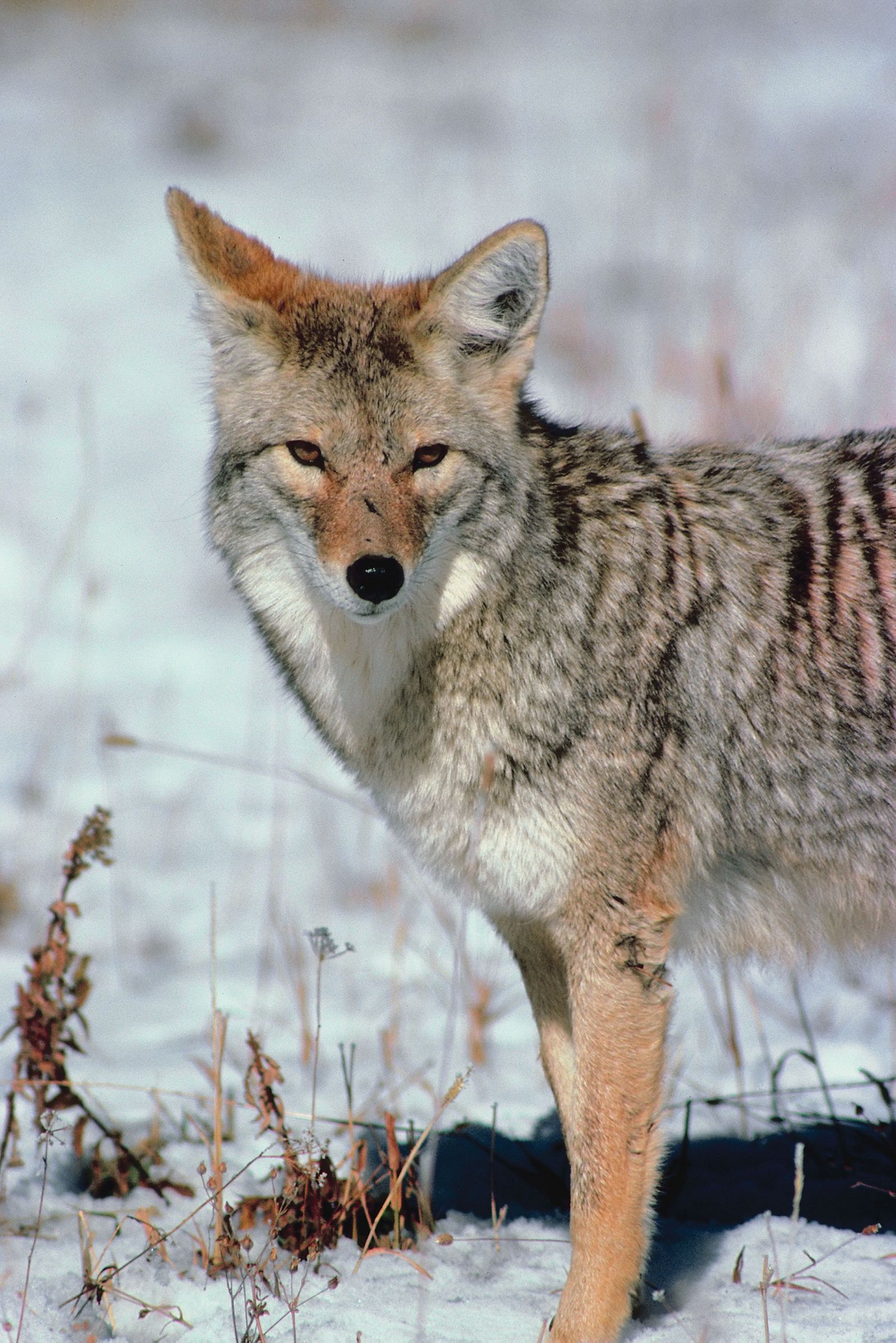 Eastern Coyote Ecology Wisconsin DNR