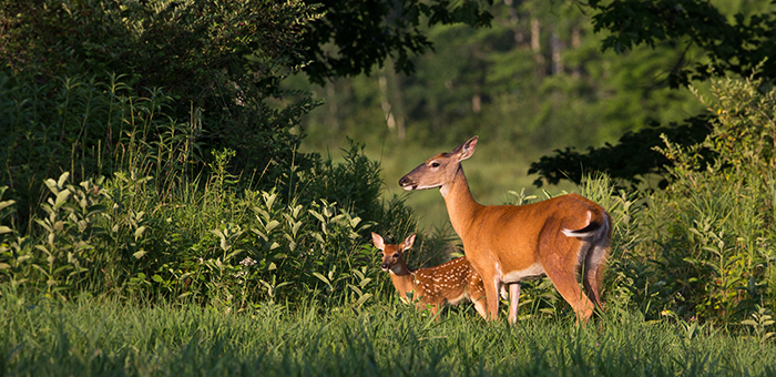 Doe and fawn deer.
