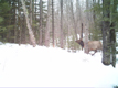 An elk running through the woods near Clam Lake