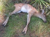 Fawn with hemorrhagic disease