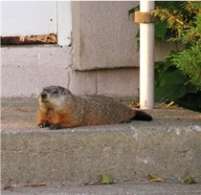 groundhog on porch