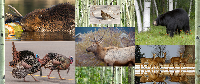 Black bear, elk, wild turkey, beaver, sharp-tailed grouse and deer