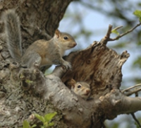 Young grey squirrels emerge from their nest in a tree