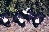 striped skunk kits